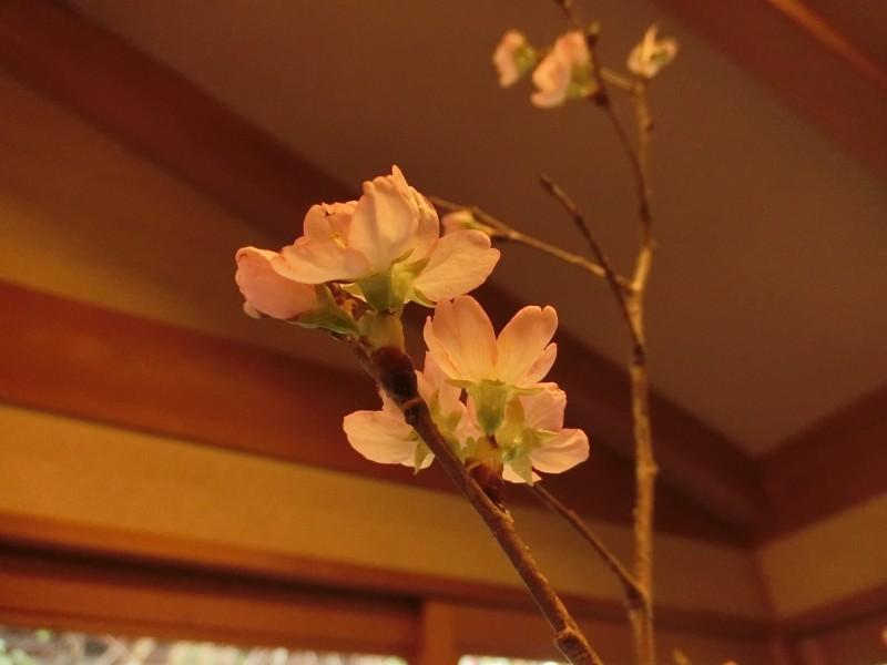 田乃倉 春 桜