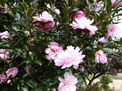 湯布院のさざんかの花